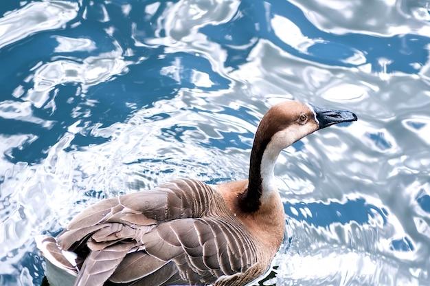 Kaczka krzyżówka w jeziorze