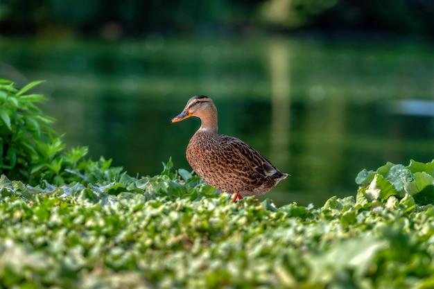 Kaczka krzyżówka - zbliżenie kaczki krzyżówki w pobliżu zielonej wody. portret uroczej kaczki krzyżówki.