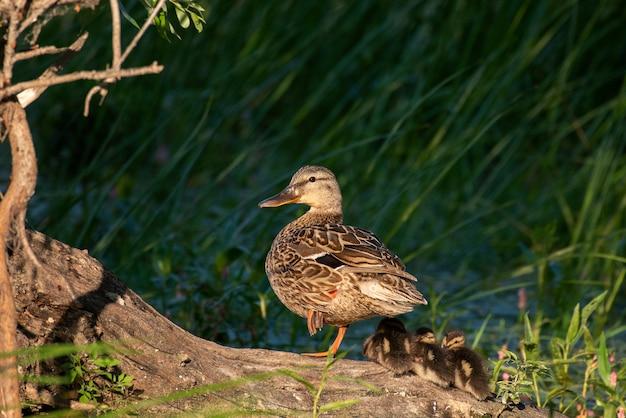 Kaczka matka, kaczka krzyżówka, anas platyrhynchos, z kaczątkami na skośnym starym pniu na tle zielonych trzcin
