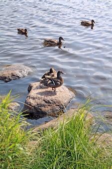 Kaczka na kamieniu w pobliżu rzeki