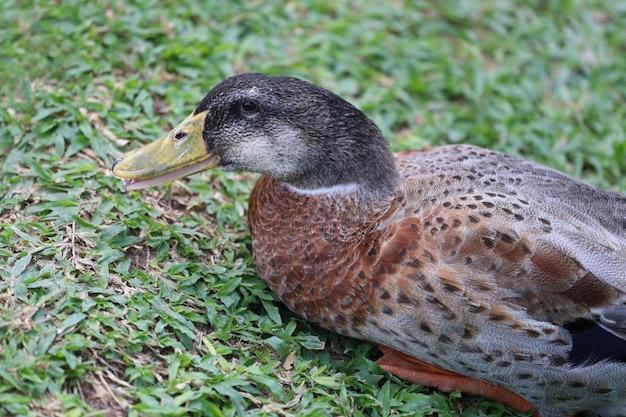 Kaczka odpoczywała na zielonym trawniku.