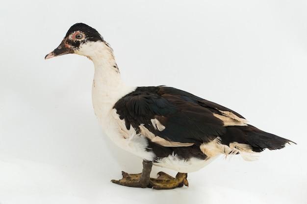 Kaczka piżmowa cairina moschata na białym tle