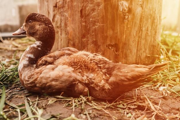 Kaczka piżmowa lub indo na farmie w kurniku. hodowla drobiu w drobnym gospodarstwie domowym. dorosłe kaczątko w kurniku. migotać