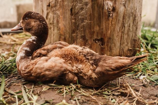Kaczka piżmowa lub indo na farmie w kurniku. hodowla drobiu w drobnym gospodarstwie domowym. dorosłe kaczątko w kurniku