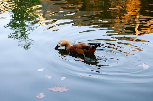 Kaczka pływa w jeziorze. z odbiciem liści jesienią w tle