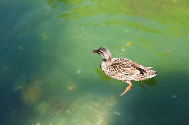Kaczka pływa w zielonym stawie