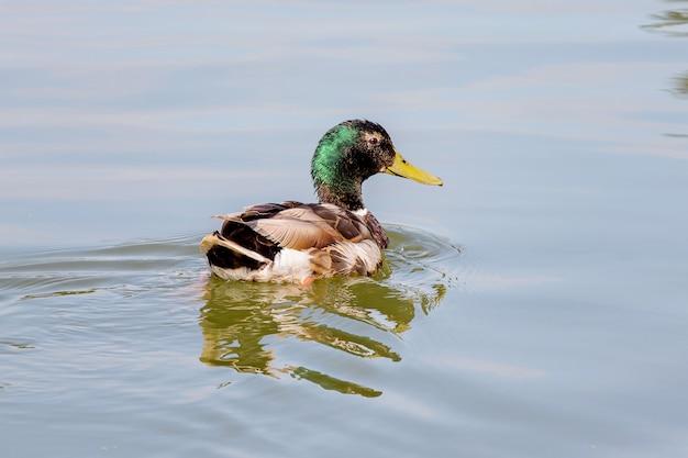 Kaczka pływa wzdłuż rzeki i odbija się w wodzie
