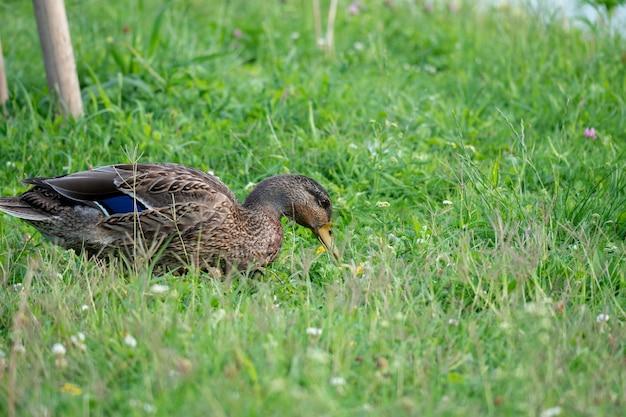 Kaczka siedząca w ciągu dnia na porośniętym trawą polu