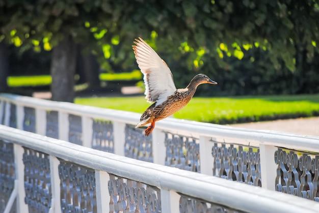 Kaczka startuje z balustrady na moście
