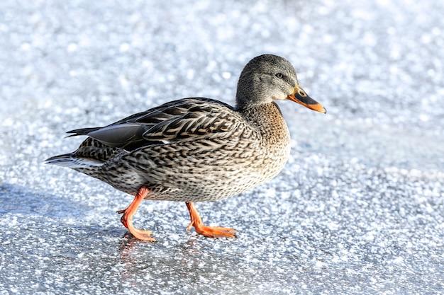 Kaczka w pobliżu zamarzniętego jeziora w zimowy dzień