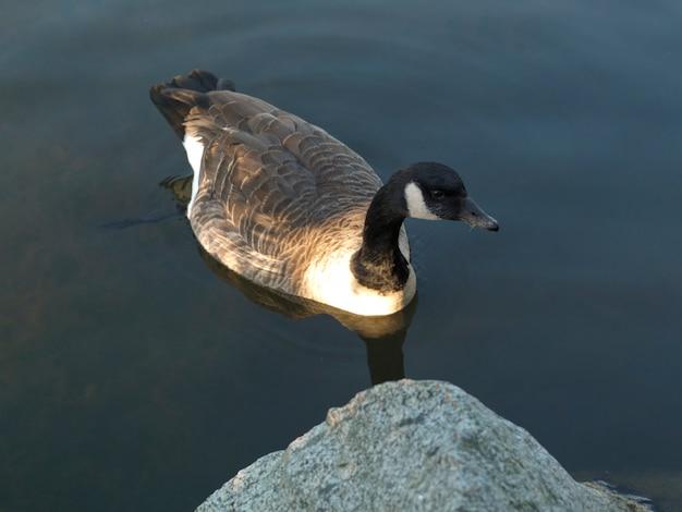 Kaczka w stanley park w vancouver, kolumbiowie brytyjska, kanada