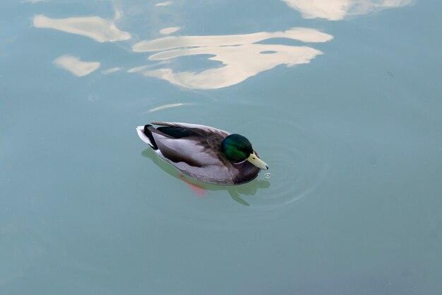 Kaczka w wodzie w stawie parku retiro