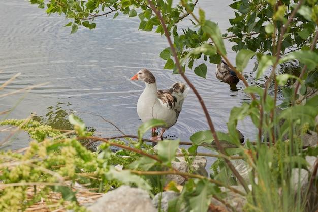 Kaczka wypoczywała na brzegu stawu w parku otoczonym zielenią