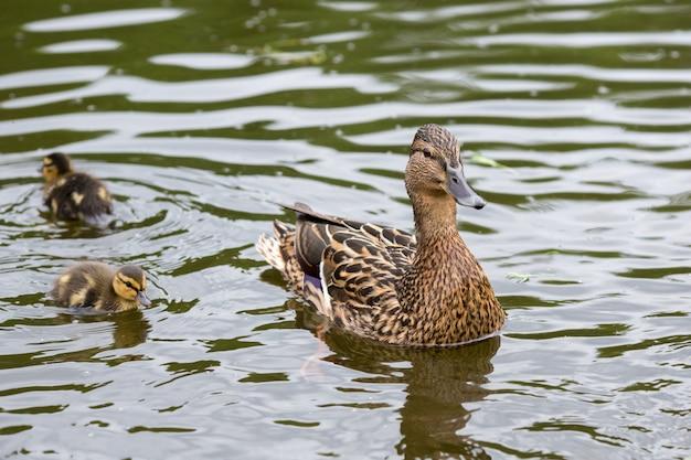 Kaczka z kaczątkami na jeziorze