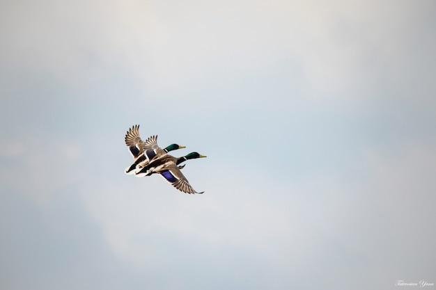Kaczka z kaczątkami na wolności. selektywna ostrość.