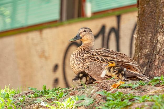 Kaczka z kaczuszkami odpoczywają w trawie nad brzegiem rzeki