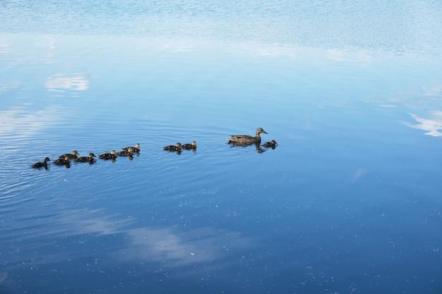 Kaczka z kaczuszkami pływa po malowniczym jeziorze, niebo odbija się w wodzie