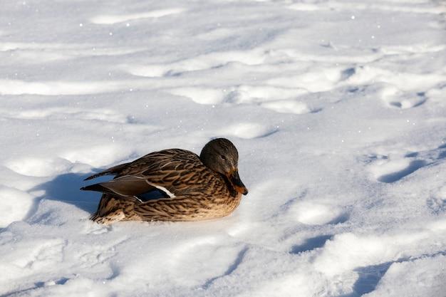 Kaczka została na zimę w europie, zimna pora z mrozami i śniegiem, kaczka siedzi na śniegu podczas mrozów i chłodów