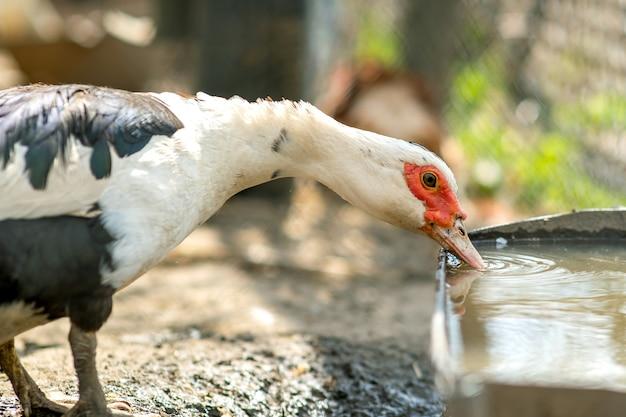 Kaczka żywi się tradycyjnym wiejskim podwórzem. szczegół waterbird woda pitna na stajnia jardzie. chów drobiu z chowu na wolnym wybiegu.