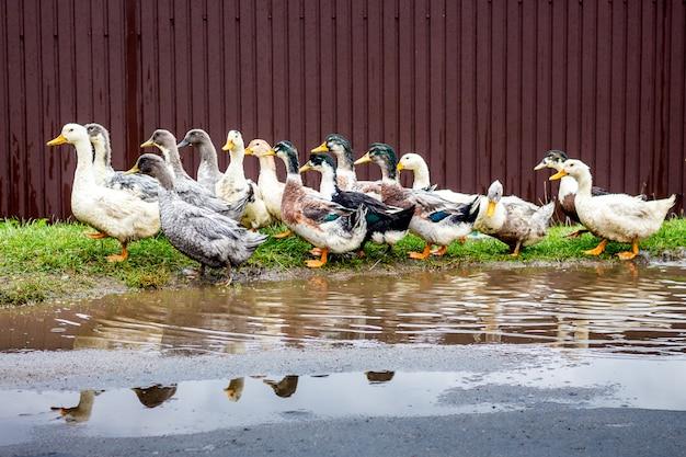 Kaczki bawiące się w wodzie na farmie