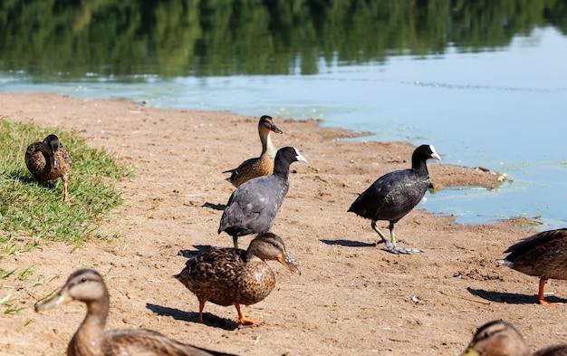 Kaczki dzikiego ptactwa wodnego