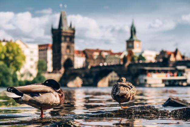 Kaczki i łabędzie pływają w wełtawie na tle mostu karola. popularna miejscowość turystyczna w pradze. most karola o zachodzie słońca łabędź na pierwszym planie.