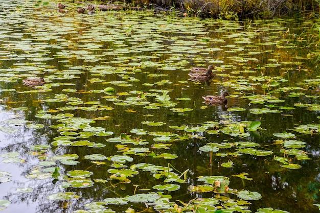 Kaczki krzyżówki na jeziorze. lato.