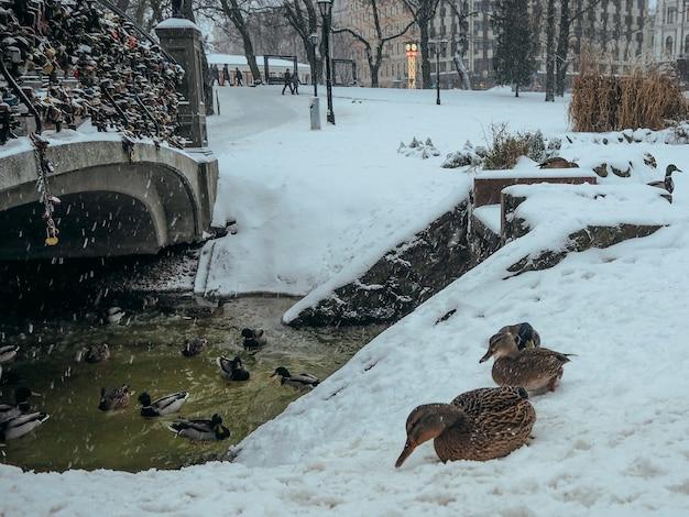 Kaczki krzyżówki w środowisku naturalnym