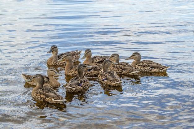 Kaczki krzyżówki z kaczątkami pływają w wodzie stawu.