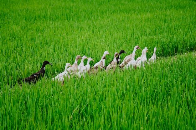 Kaczki maszerują na polach ryżowych bali