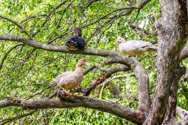 Kaczki muscat siedzą w ogrodzie na drzewie