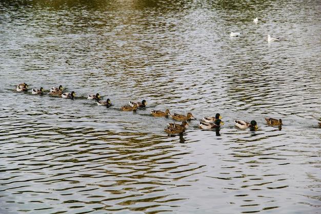 Kaczki na jeziorze. jesień koncepcja.