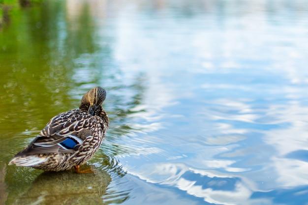 Kaczki na jeziorze w parku miejskim.