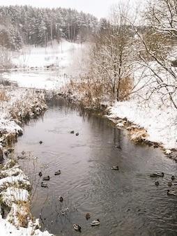 Kaczki na rzece w zimie