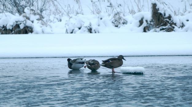 Kaczki na wodzie w zimie