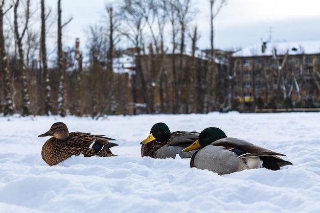 Kaczki odpoczywają w parku miejskim w śniegu