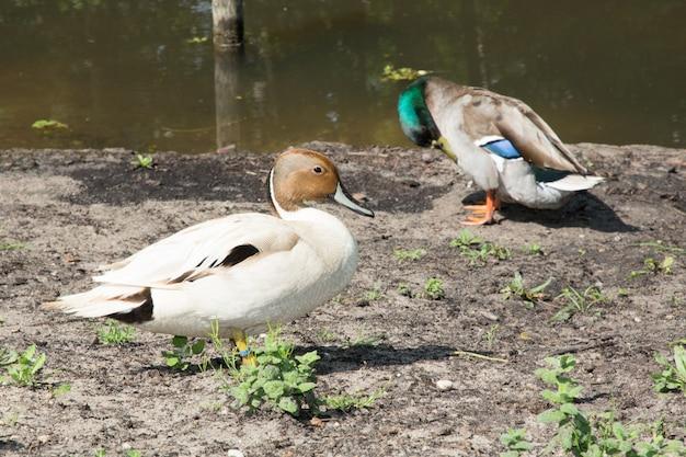 Kaczki para w rzeki strony outdoors letnim dniu
