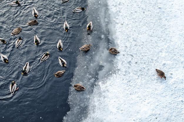 Kaczki pływa na zima stawie
