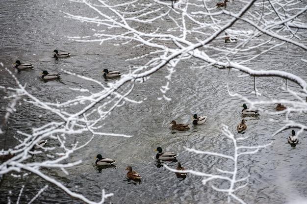 Kaczki pływa un rzekę podczas zimy. zimowy nastrój