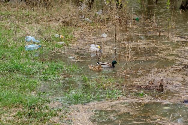 Kaczki pływa w rzece z jałowymi butelkami