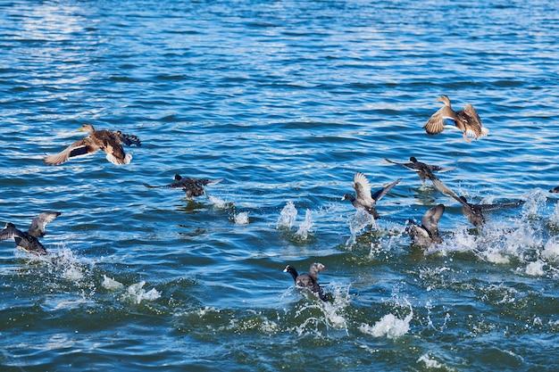 Kaczki pływają i startują nad jeziorem miejskim, kopiują przestrzeń