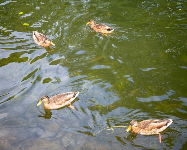 Kaczki pływają po jeziorze
