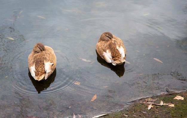 Kaczki pływające po jeziorze zimą. samce i samice kaczek na lodowatej wodzie. słoneczny dzień nad jeziorem z wieloma kaczkami na powierzchni wody. nieskazitelnie czysta woda w jeziorze, pływa po niej wiele kaczek.