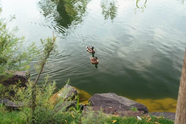 Kaczki pływające w widoku z góry jeziora