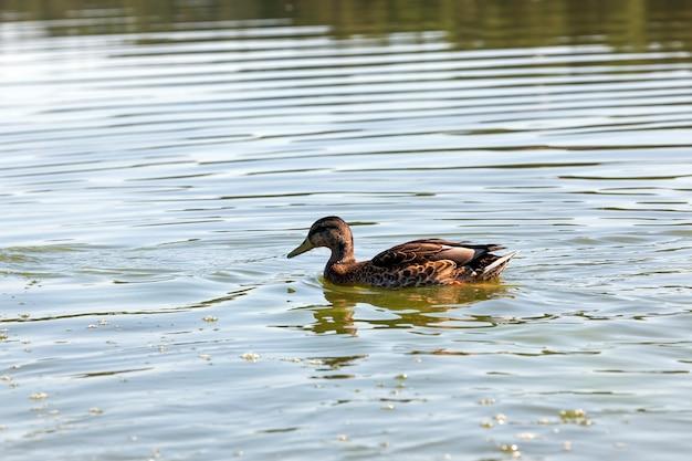 Kaczki ptactwa wodnego