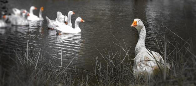 Kaczki szczęśliwie pływają w rzece