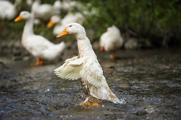 Kaczki unoszą się na wodzie
