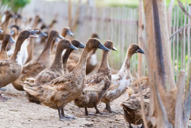 Kaczki w gospodarstwie