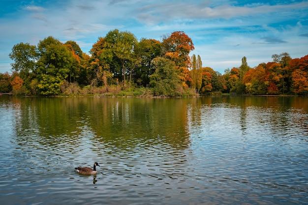 Kaczki w jeziorze w monachium angielski ogród englischer garten park munchen bavaria niemcy