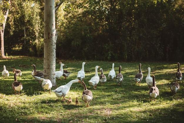Kaczki w parku chodzą z kaczątkami